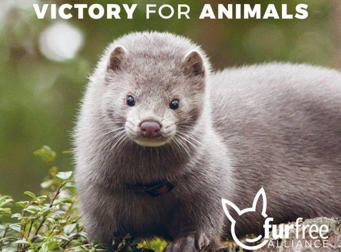 Prijatelji životinja: Belgija donijela zabranu uzgoja životinja radi krzna!