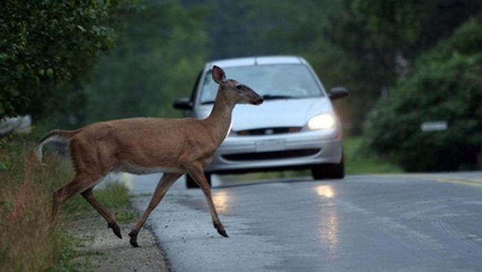 Primorsko-goranska policija poziva vozače na oprez od naleta na divljač