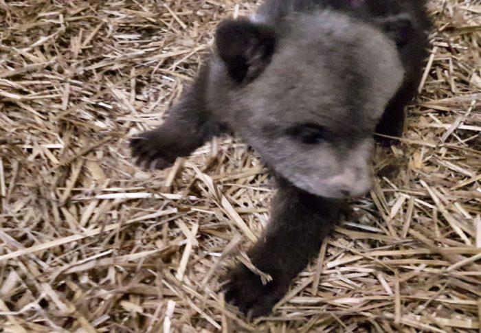 ZG Zoo: Spašeni medvjedić Matija odlično napreduje