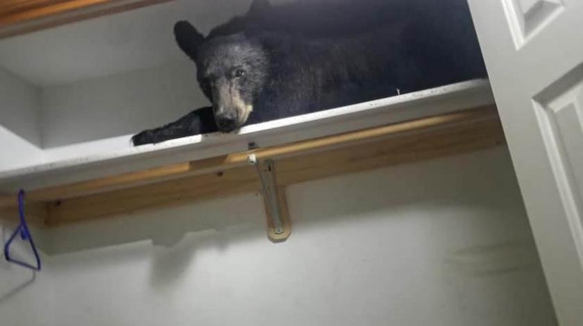 Medo provalio u kuću i zaspao na polici ormara: vjerojatno se umorio i odlučio 'prileći'