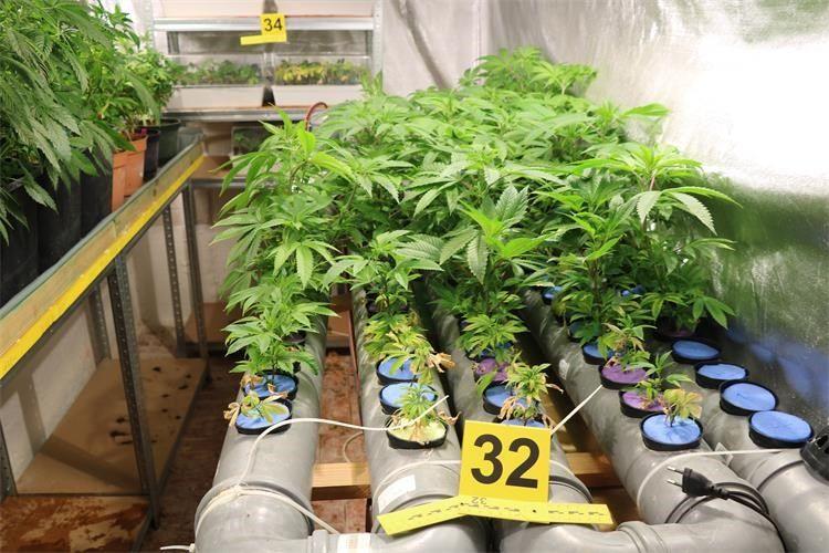 """(VIDEO) POLICIJSKA AKCIJA """"LIJEVAK"""": Kod dvojice muškaraca pronađeni šatori, 333 stabljike i 11 kilograma marihuane"""