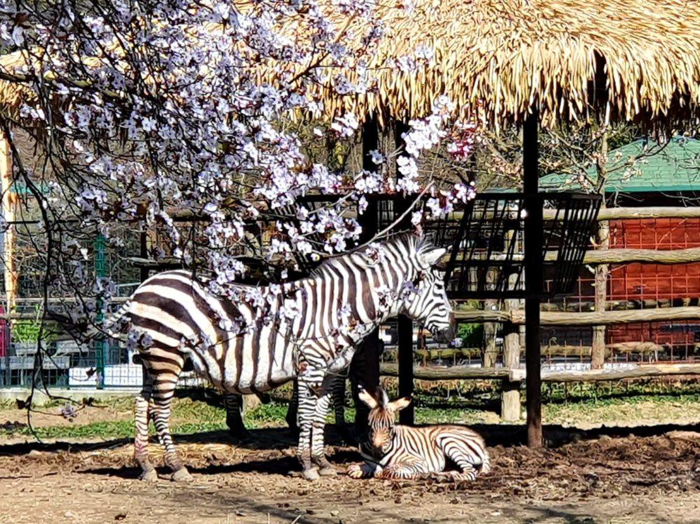 (FOTO i VIDEO) Neodoljivo prugasto pojačanje u zagrebačkoj obitelji zebri